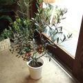 【送料無料】毎年小さなしあわせを実らせませんか?オリーブ2品種植え 5号鉢サイズ 【薫る花】【観葉植物 プレゼント ギフト 誕生日 開店祝い 引越し祝い オリーブの木】