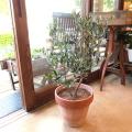 【送料無料】イタリアのセンスが光る♪「オリーブ」2品種植え(イタリア製スクラッチボーダーテラコッタ鉢植え) 【観葉植物 開店祝い】