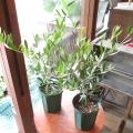 【送料無料】雰囲気のあるブリキ缶がキュート♪オリーブ(カンパーニュブリキバケツカバー) 【薫る花】【観葉植物 プレゼント ギフト 誕生日 開店祝い 引越し祝い オリーブの木 オリーブの苗】