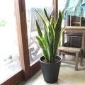 【送料無料】マイナスイオンと空気清浄効果が嬉しい♪「サンスベリア」白色デザイン陶器鉢植え 【観葉植物/開店祝い/引っ越し】