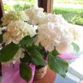 【送料無料】白いお花が魅力的な玉紫陽花(タマアジサイ)♪ アジサイ シュガーホワイト 5号鉢サイズ 鉢植え 【薫る花】【花 フラワー 鉢花 プレゼント ギフト 贈り物 紫陽花 あじさい ハイドランジア 母の日ギフト 母の日 特集 2021年】