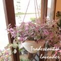 【送料無料】垂れ下がったラインが魅力♪ トラデスカンチア「ラベンダー」6号吊鉢 【薫る花】【観葉植物 ミニ インテリア プレゼント ギフト 誕生日 開店祝い 引越し祝い トラデスカンティア】