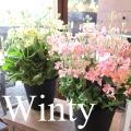 ウィンティー 5号鉢サイズ 鉢植え 選べる花色 プリムラ マラコイデス サクラソウ サントリーフラワーズ 送料無料 薫る花 フラワー 鉢花 花鉢 桜草 ウインティー
