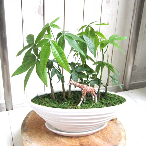 0102【送料無料でご予算ラクラク】観葉植物ギフト キリンとパキラ