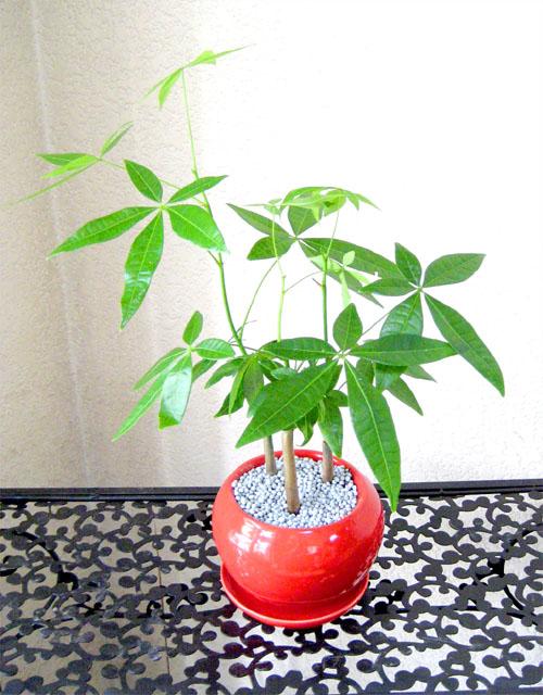 0098観葉植物ギフト 風水パキラ☆エネルギーが湧いてくる!!【赤】ミニ観葉まとめ割対象商品