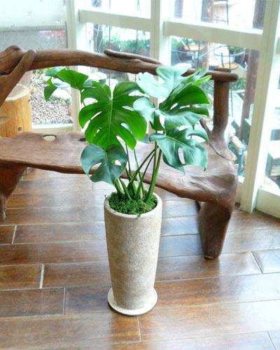 0027インテリア観葉植物ギフト  ~モンステラ~ ヴィヴィトールサンド