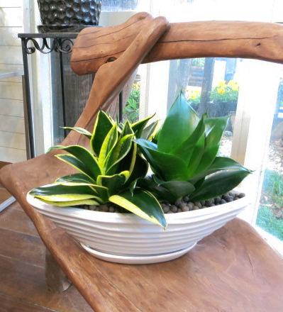 0076マイナスイオン効果でお仕事能率アップ!観葉植物ギフト サンスベリアのカラーミックス舟形鉢