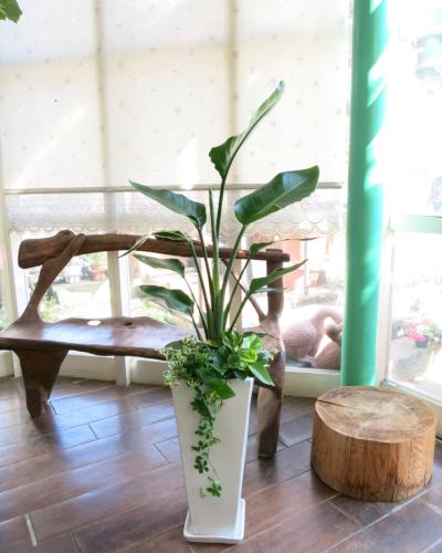 0008インテリア観葉植物ギフト  オーガスタ ホワイトロング鉢【大型商品】