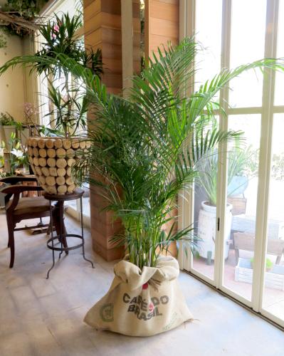 0297観葉植物ギフト アレカヤシのハワイ風