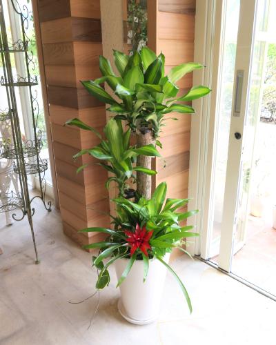 0121観葉植物ギフト やる気UP!心からの贈り物★幸福の木★【大型商品】