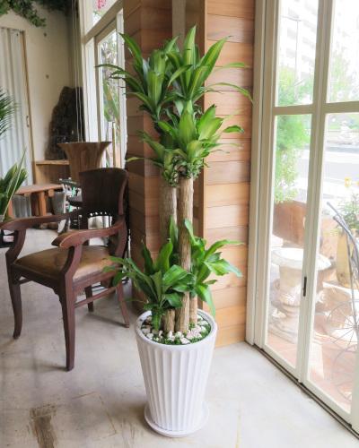 0306観葉植物ギフト 幸福の木と白鉢(シンプル)【大型商品】