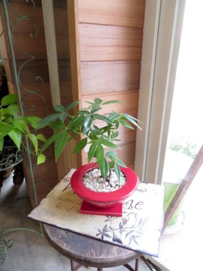 0345観葉植物ギフト◆パキラとUFOな赤鉢