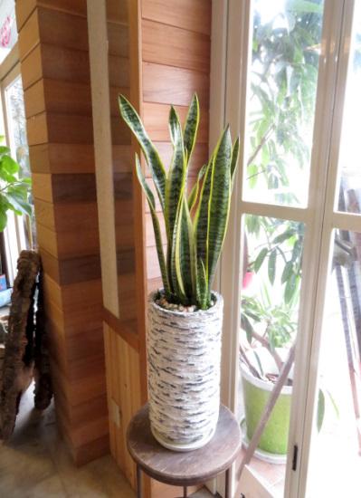 0344観葉植物ギフト サンスベリアとアンティーク鉢