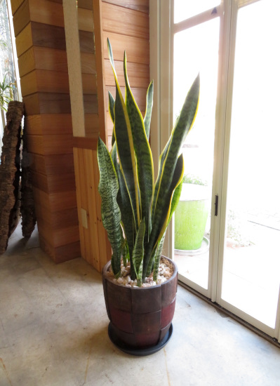0358観葉植物ギフト サンスベリアと格子柄鉢【大型商品】