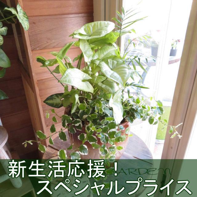 0402【新生活応援!スペシャルプライス】ミニ観葉植物おしゃれなインテリア鉢植え(ブラウン鉢)
