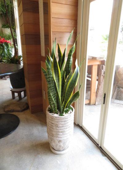 0423観葉植物ギフト サンスベリア ストーンストライプ