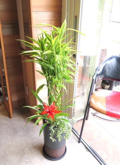 0446観葉植物ギフト 縁起のいい名前の開運の木 ミリオンバンブー(B&B)