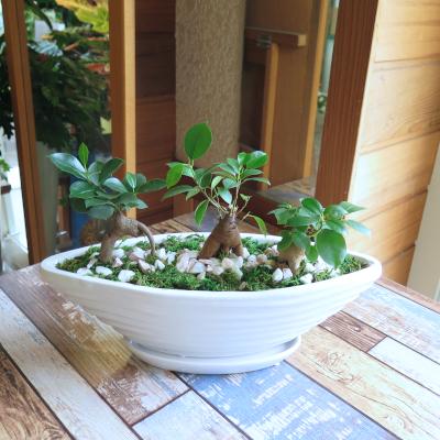 0452観葉植物ギフト 縁起のよい3本立ちガジュマル