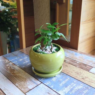 0451観葉植物ギフト 風水ガジュマル☆安らぎを与えてくれる【緑】ミニ観葉まとめ割対象商品