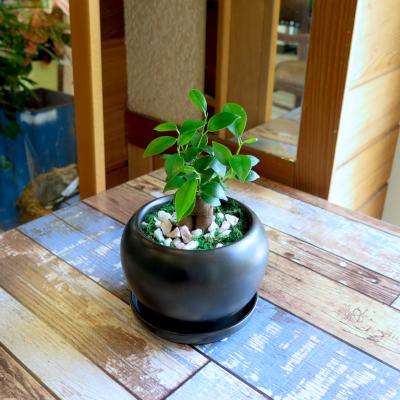 0450観葉植物ギフト 風水ガジュマル☆ここぞの勝負の時の【黒】ミニ観葉まとめ割対象商品