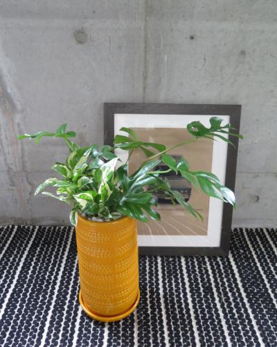 0462観葉植物ギフト 姫モンステラとイエローポット