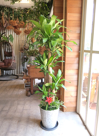 0520観葉植物ギフト 幸福の木の軽量おしゃれ鉢(華やか寄せ植え)【大型商品】