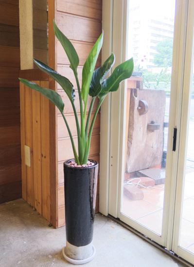 0523観葉植物ギフト ストレチアとスリムな黒鉢
