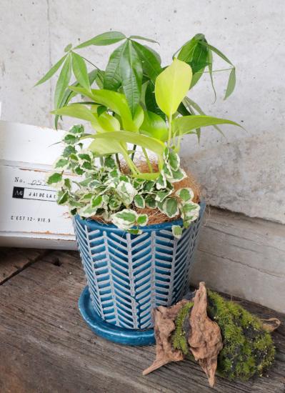 0539観葉植物ギフト おまかせミニ観葉【鉢色:集中力を高めたい時のブルー系】