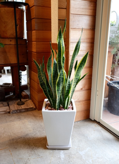 0549観葉植物ギフト サンスベリアとホワイトスクエア鉢【大型商品】