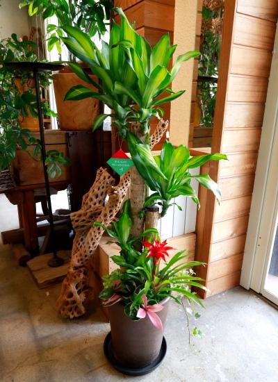 0552観葉植物ギフト〈和Style〉 幸福の木と和風こげ茶鉢