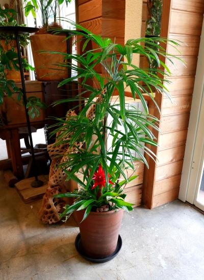 0553観葉植物ギフト〈和Style〉 シュロチクと和風こげ茶鉢