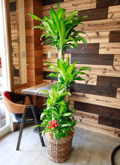 0555 観葉植物ギフト 開店お祝いにおすすめ 幸福の木とバスケット(華やか寄せ植えタイプ)【大型商品】