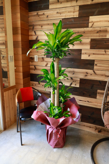 0560 観葉植物ギフト 開店お祝いにおすすめ 幸福の木のシンプルラッピング【大型商品】