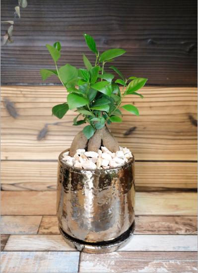 0568【観葉倶楽部の開運プランツ】 多幸の木ガジュマル☆チャンスをつかむブロンズ鉢