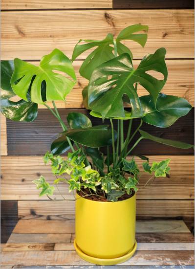 0569【観葉倶楽部の風水プランツ】 金運UP☆イエロー鉢 植物はプランツデザイナーにおまかせ!
