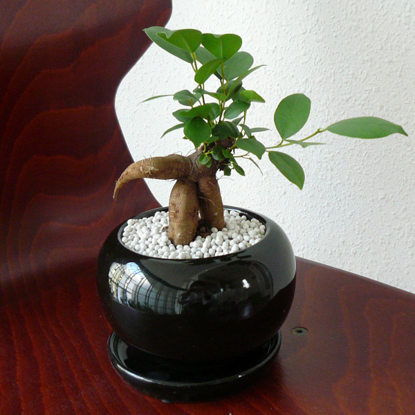 観葉植物ギフト 風水ガジュマル