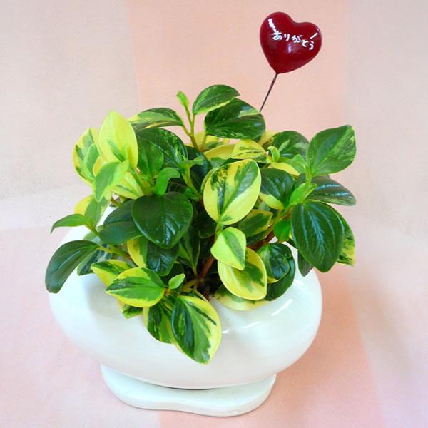 母の日ギフト 観葉植物ギフト ペペロミア