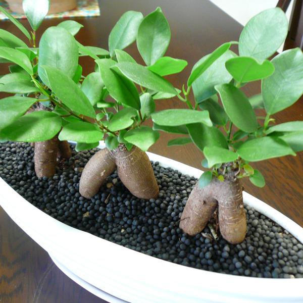 観葉植物ギフト ガジュマル
