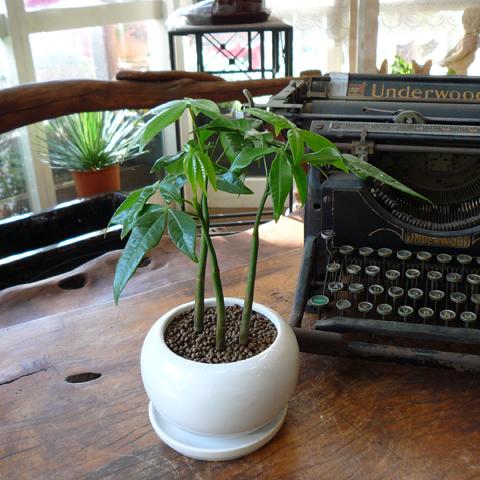 観葉植物ギフトパキラ
