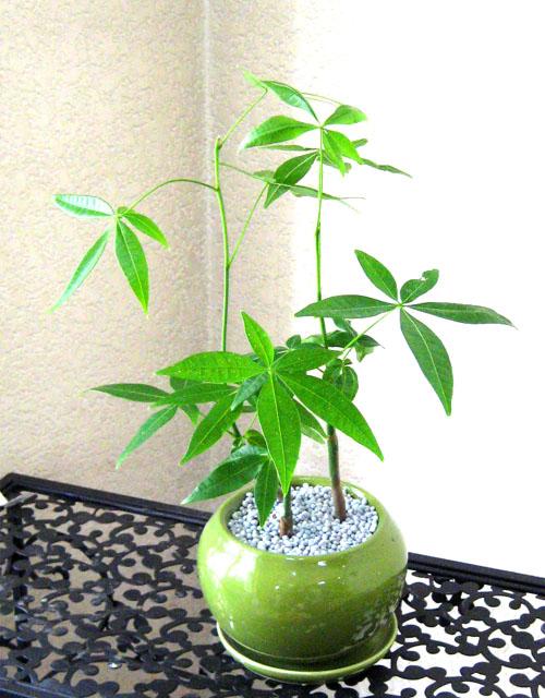 0097観葉植物ギフト 風水パキラ☆安らぎを与えてくれる【緑】ミニ観葉まとめ割対象商品