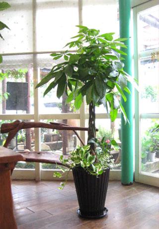 0115観葉植物ギフト ★パキラ黒鉢ミニ観葉たっぷり華やか寄せ植え★