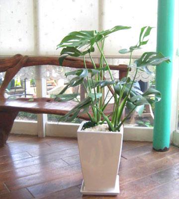 0029【観葉植物】ボリューム大!モンステラのホワイト鉢