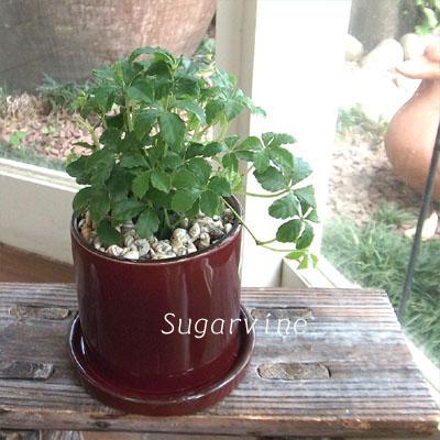 0256観葉植物ギフトシュガーバインの貝殻スタイル(渋赤)
