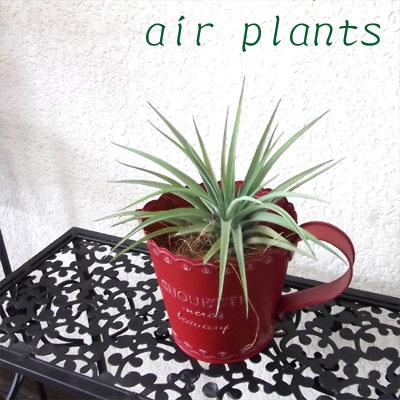 0254観葉植物ギフト エアプランツの真っ赤なブリキポット