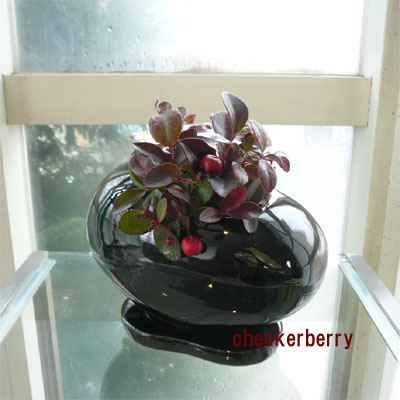 早割り黒色ビーンズ鉢とチェッカーベリーのクリスマスアレンジ【お歳暮迎春ギフト送料無料】