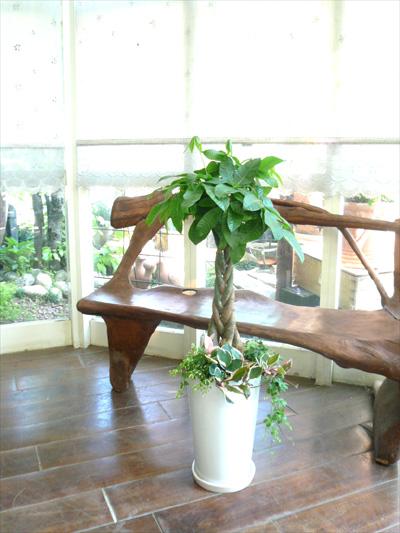 0112観葉植物ギフト パキラ ホワイト鉢のコンパクトな寄せ植え