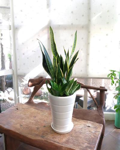 0078観葉植物ギフト サンスベリアいろいろ寄せ植え