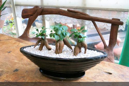 0087観葉植物ギフト 縁起のよい3本立ちガジュマル(黒鉢)