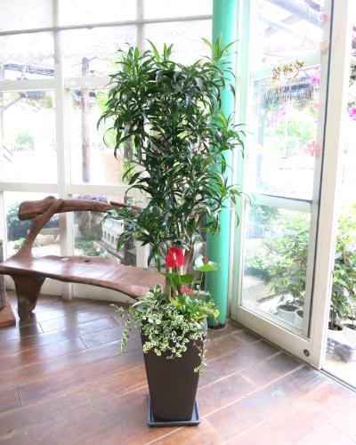 0108観葉植物ギフト ドラセナレキオスと華やかな寄せ植え(黒鉢)