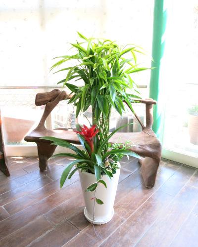 0002観葉植物ギフト お祝いにピッタリ!華やか☆幸せの木~ミリオンバンブー~【大型商品】